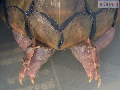 カブトニオイガメのミラージュ、後姿