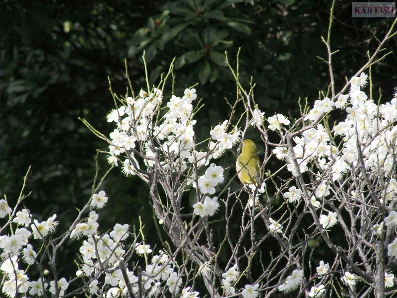 荒山公園の梅とメジロ