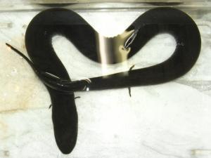 フタユビアンフューマ