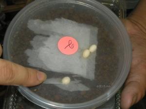ターコイズブルーゲッコーの卵
