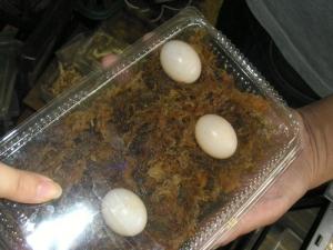 パーケリーナガクビガメの卵(?