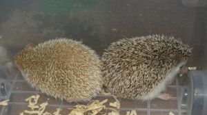 ヨツユビハリネズミのるな(左白)と紫(右黒)