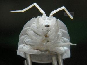 クマワラジムシの頭部側脱皮殻